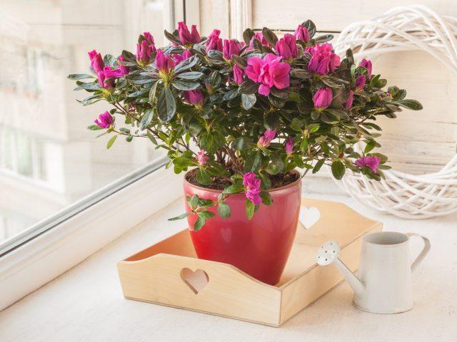 Рододендроны (Rhododendron)