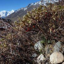 Облепиха тибетская (Hippophaetibetana)