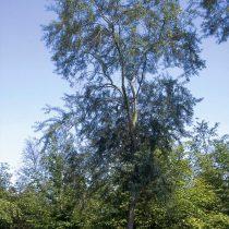 Облепиха иволистная (Hippophae salicifolia)