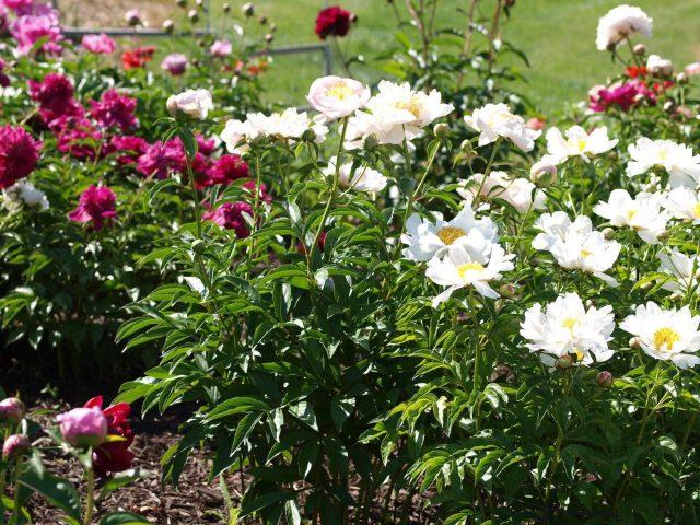 Одно из несомненных достоинств дикорастущих пионов — ранний старт сезона