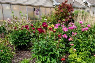 Видовые пионы в саду