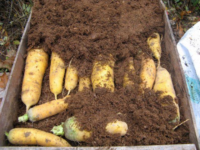 Даже спустя девять месяцев корнеплоды, «укутанные» в торфяную крошку, выглядят, как с грядки