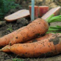 Морковь «Рекси»