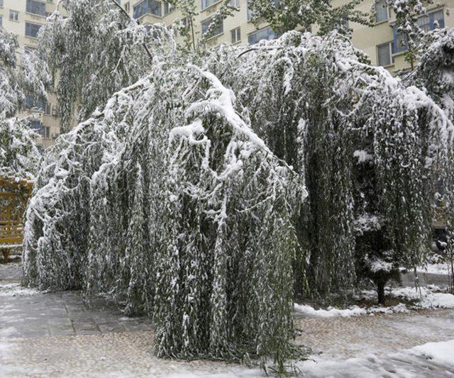 Деревья под тяжестью снега