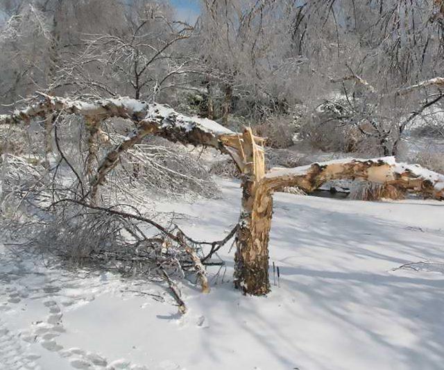 Сломанное дерево под тяжестью снега и льда