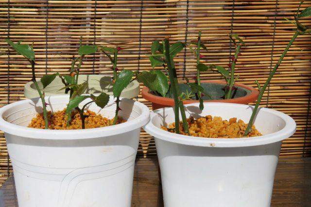Базовые правила размножение роз черенками летом и зимой
