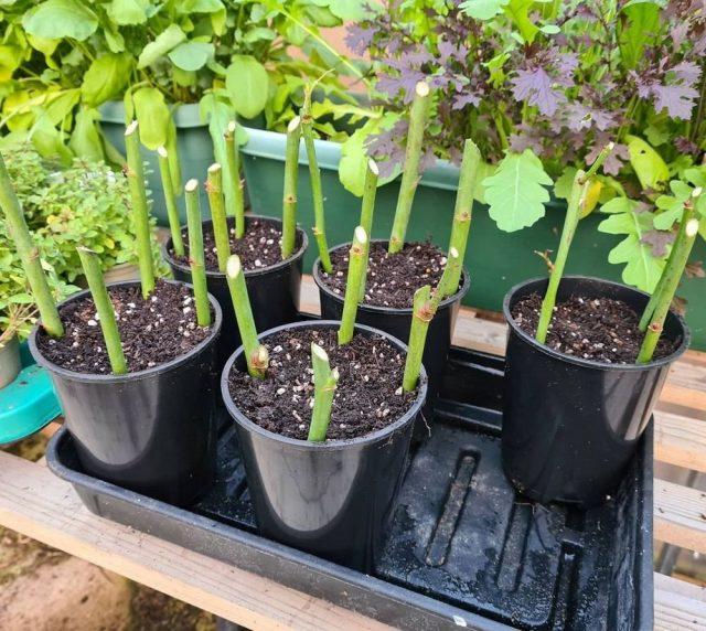 В почву черенки высаживают через 5-20 см