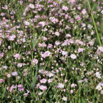 Гипсофила (Gypsophila), сорт «Фестивал Пинк Лейди» (Festival Pink Lady)