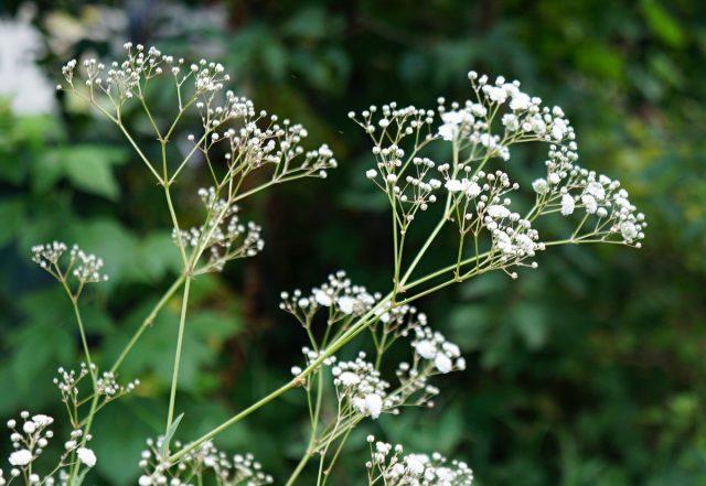 Гипсофила (Gypsophila) — очень воздушное и структурное растение