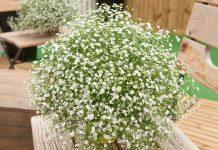 Гипсофила — не только для букетов, но и для модных цветников