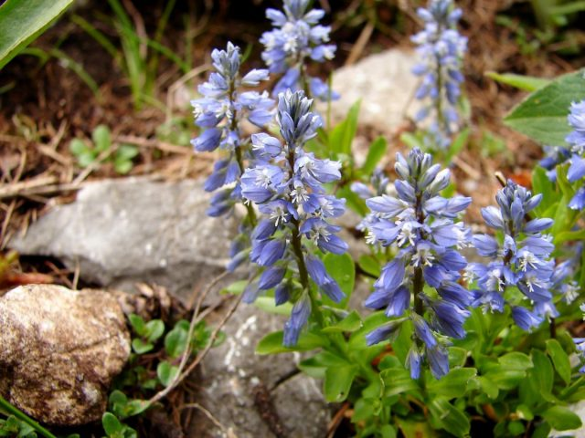 Истод - не только лекарственное, но и декоративное растение
