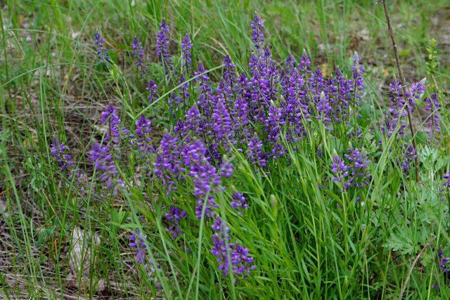 Истод обыкновенный (Polygala vulgaris)