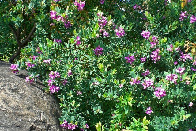 В настоящее время в продаже можно встретить только один вид истода — истод миртолистный (Polygala myrtifolia)