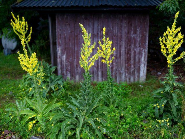 Коровяк обыкновенный (Verbascum thapsus)