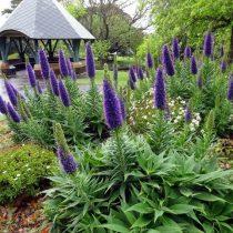 Синяк (Echium) - мощное декоративное растение, цветущее больше двух месяцев колосками синих цветов