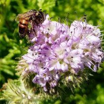 Фацелия (Phacelia) нравится и нам, и пчёлам