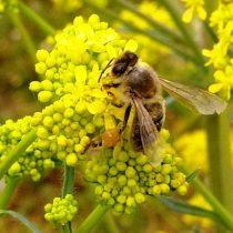 Пчела на цветках вайды (Isatis tinctoria).