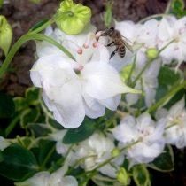 Пчела прокалывает шпорец аквилегии (Aquilegia)