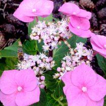 Пчела на гортензии (Hydrangea)