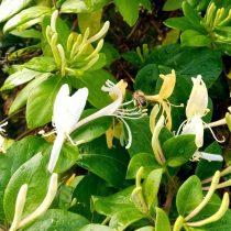 Пчела на пыльниках жимолости японской (Lonicera japonica)