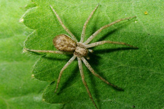 Паук (Araneae)