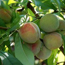 Зрелые плоды персика «Воронежский кустовой» немного зеленоватые