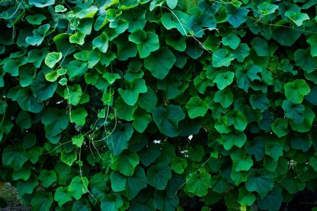 В декоративном саду кокцинию можно выращивать как альтернативу плющу