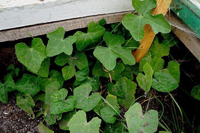 Кокциния (Coccinia indica, Coccinia grandis)