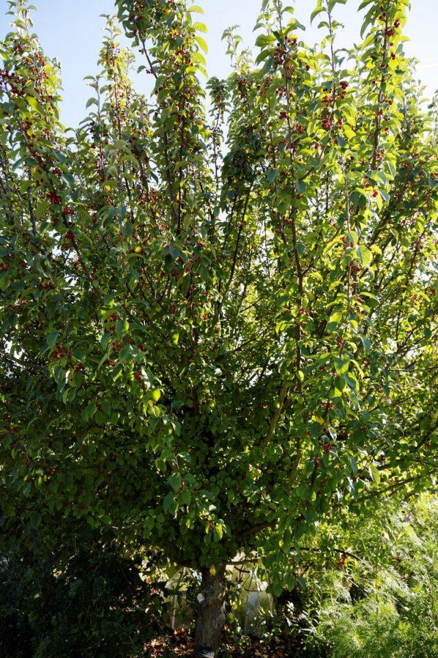 Сибирская ягодная яблоня (Malus baccata var. Sibirica, Malus pallasiana, Malus sibirica)
