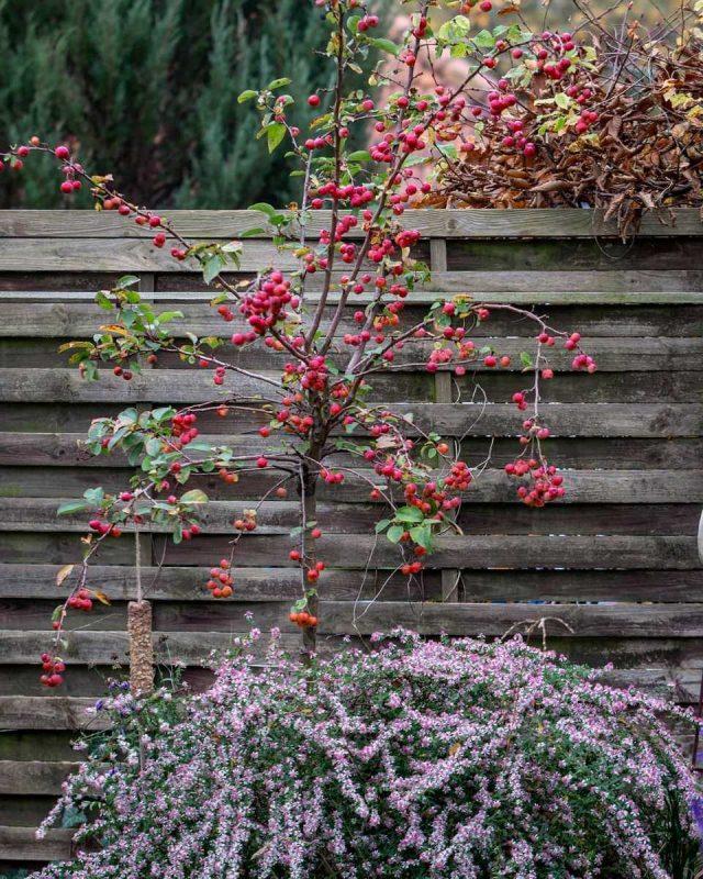 Сибирскую ягодную яблоню лучше выращивать из семян