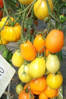 Томат «Чио-чио-сан» оранжевый