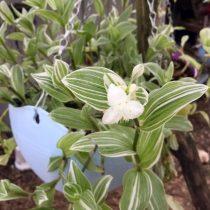Традесканция приречная, или Флуминенсис (Tradescantia fluminensis), сорт «Альбовиттата» (Albovittata)