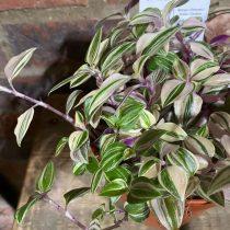Традесканция приречная, или Флуминенсис (Tradescantia fluminensis), сорт «Квадриколор» (Quadricolor)
