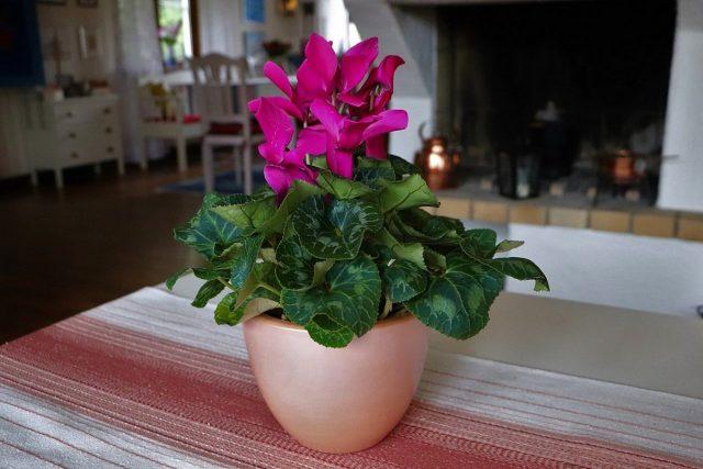 Цикламен персидский, Дряква, или Альпийская фиалка (Cyclamen persicum)