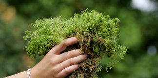 Удивительный мох сфагнум — как заготовить и использовать?