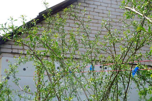 Раскидистые кусты годжи нуждаются в подвязке