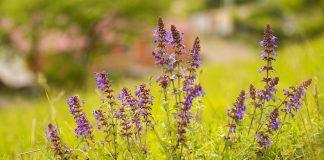 Змееголовник — незаменимое растение для аптекарской грядки