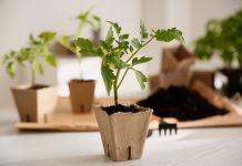 10 ошибок, которые погубят вашу рассаду томатов