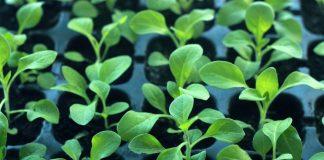 Своевременная биозащита рассады