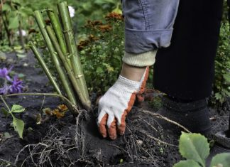 Как сохранить корневища и луковицы до весны