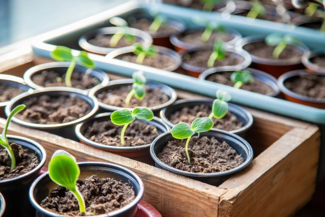 Выращивание рассады с «ЦеоФлора»