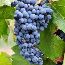 Сорт винограда «P34»
