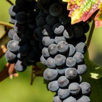 Сорт винограда «P26»