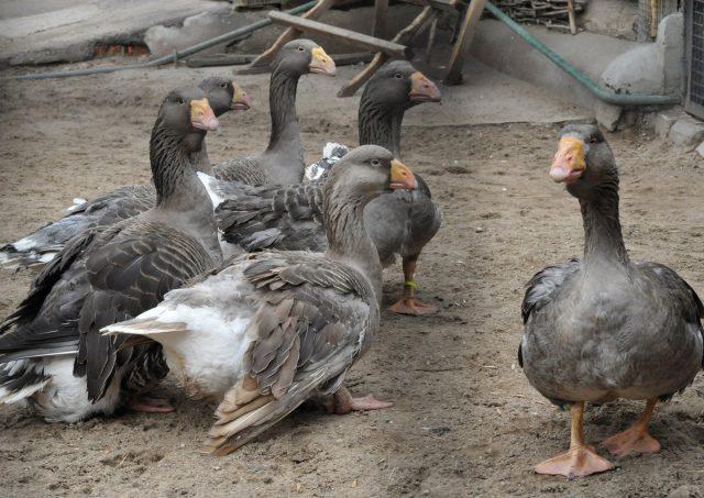 Тульские бойцовые гуси