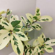 Фикус микрокарпа (Ficus microcarpa), сорт «Альбомаргината» (Albomarginata)