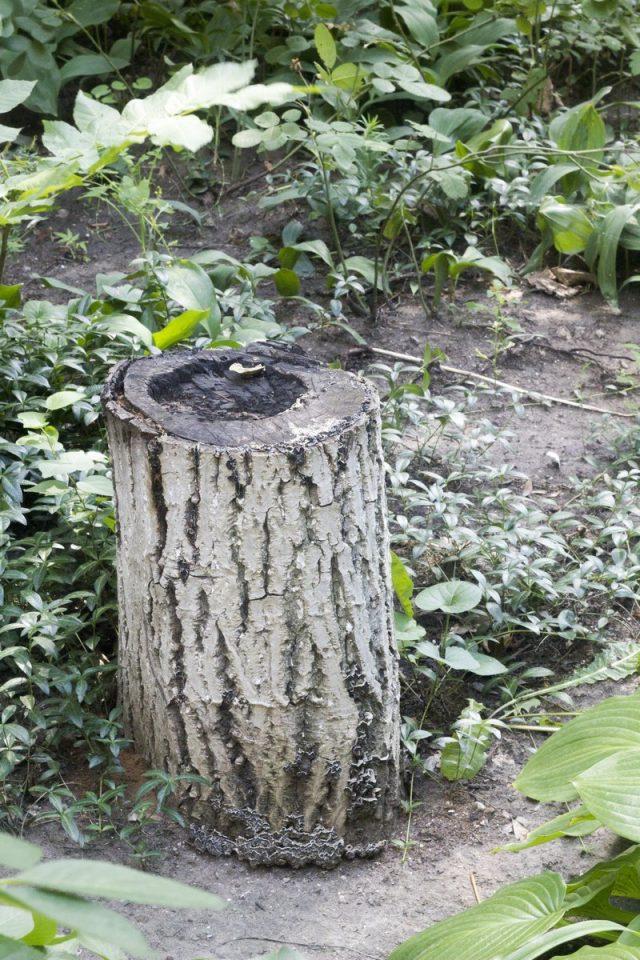 Старый пень может быть одной из причин появления грибов на участке