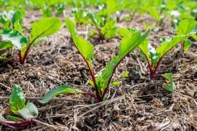 Свекла, быть может, и не принесет в полутени рекордного урожая, зато порадует нежностью и листьями