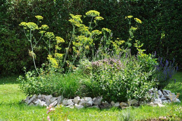 Пряные травы в полутенистых локациях позднее зацветают и образуют большую зеленую массу