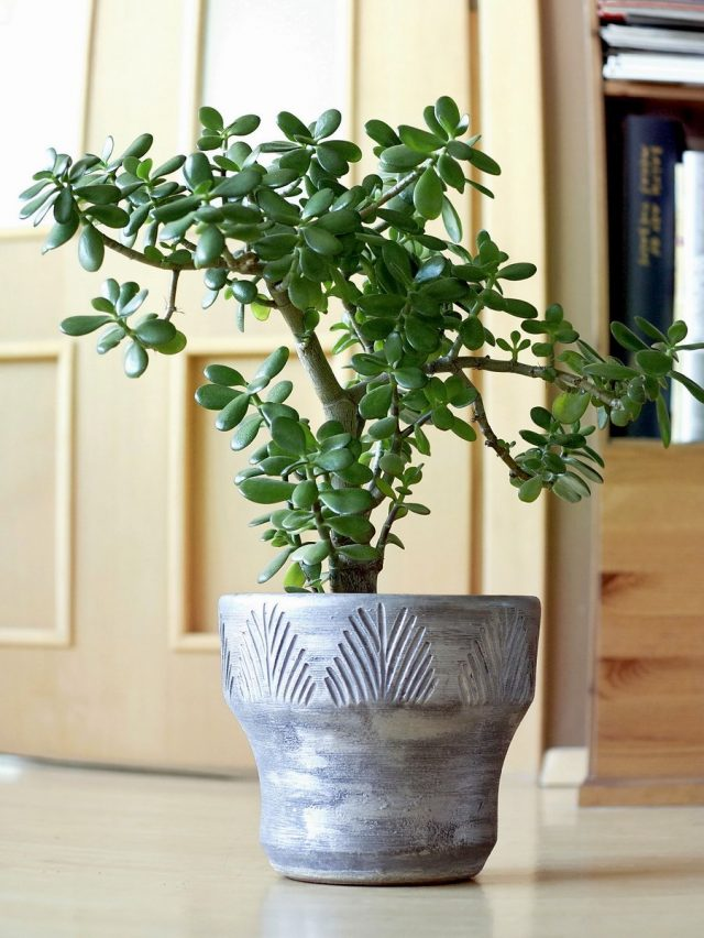 Толстянка овальная, или денежное дерево (Crassula ovata)