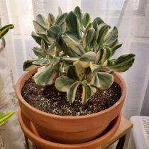 Толстянка овальная (Crassula ovata), сорт «Триколор»
